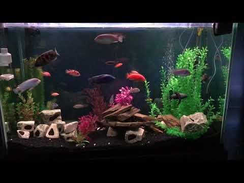 Proof African Cichlids And Other Fish Can Live Together