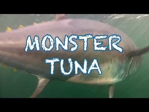 MONSTER TUNA - 1000 Pound Giant Bluefin Caught In Record Time In PEI - Cool Underwater Shots