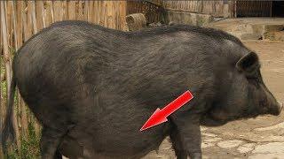 """Chú lợn may mắn nhất MXH: Mua về để th.ị.t thì có bầu, bỗng dưng biến thành... """"thú cưng"""" của cả nhà"""