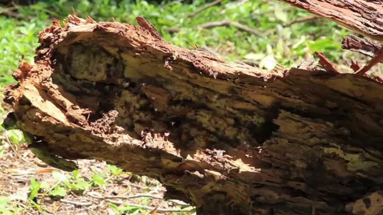 australian native bee hive in fallen tree branch youtube