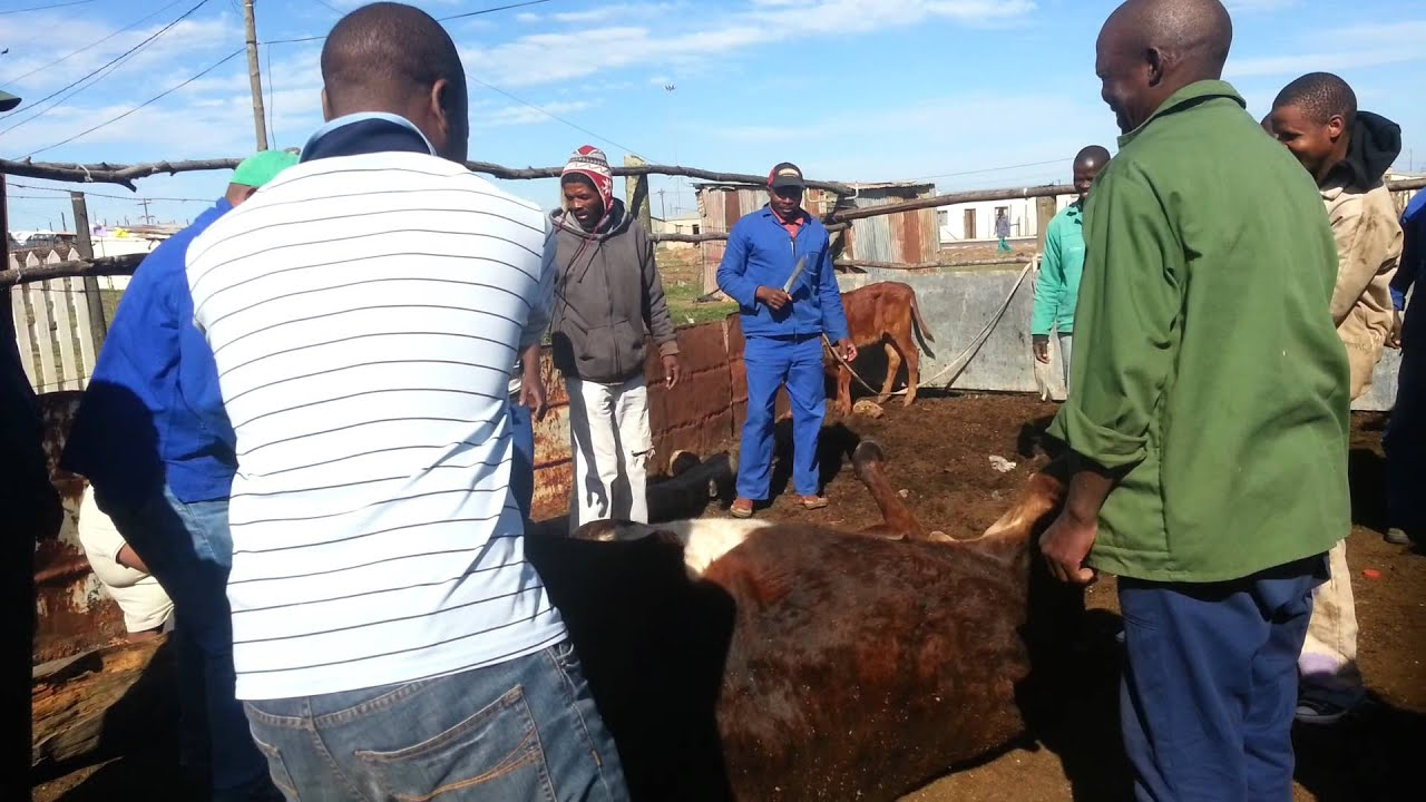 Grahamstown South Africa  city pictures gallery : Grahamstown, South Africa Xhosa Cow Slaughtering Ritual [Mature ...
