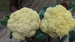 Cooking Farm Fresh Cauliflower in My Village - Crispy Gobi 65