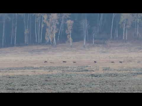 Yellowstone Wolves: Lamar Valley 9.30.18