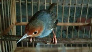 Suara Prenjak Merah Betina Gacor , Terbukti Kembalikan MENTAL Burung Prenjak Yang DROP Karena Stres