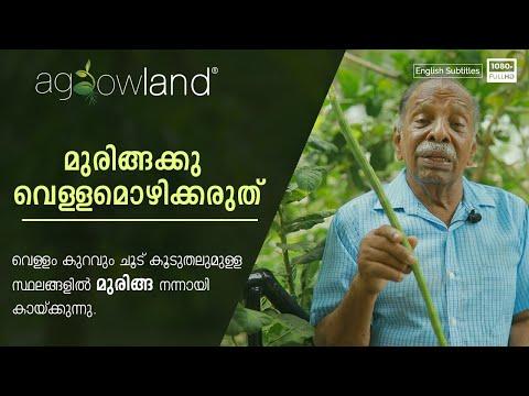 മുരിങ്ങക്കു വെള്ളമൊഴിക്കരുത്!!! |  Moringa | Gopu Kodungallur | Agrowland