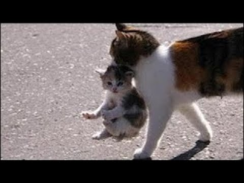 Mama Cat Carrying Baby Kittens Videos Compilation 2017 - 4K