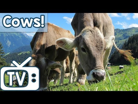 Dog TV with Cows Entertainment & Nature Sounds! Stimulating TV for Dogs with Calming Nature Sounds!