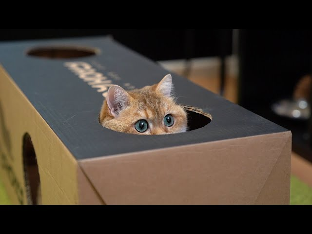 A box is the best thing for a cat