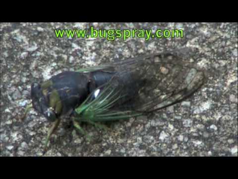 Cicada closeup