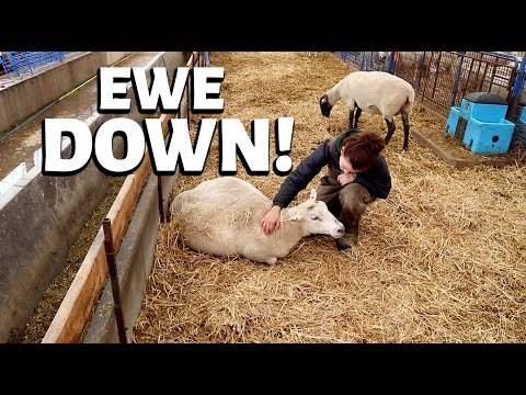 From Bad To Worse.  (market Crashed, Cancelled Orders, Another Flooded Barn And A Down Ewe) Vlog 261