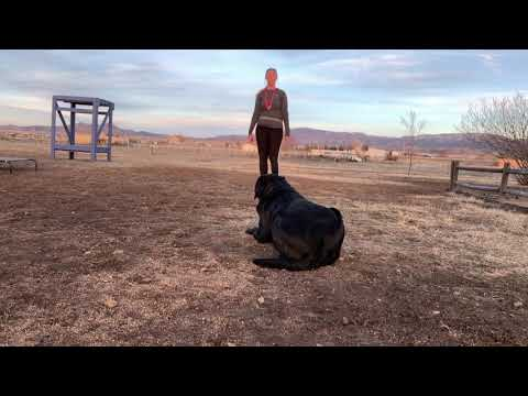 Bentley | Lab | Best Aggressive Dog Trainers in Northern Arionza
