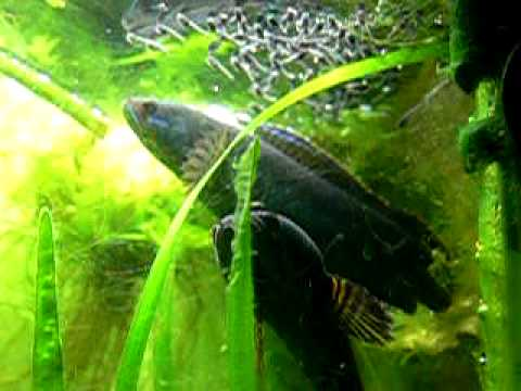 Channa Gachua Breeding2 - YouTube