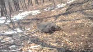 HUNGING Wild Boar JAPAN 猪猟 群馬県 1/20〜21/ 2011 ウインチ様々 流...