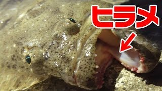 【高級魚】有明海のヒラメ釣れた‼