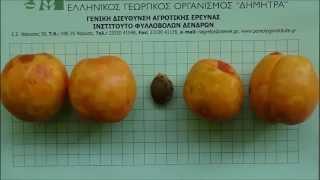 Συμπτώματα της ίωσης Σάρκα ή Ευλογιά (Sharka - PPV) σε καρπούς βερικοκιάς