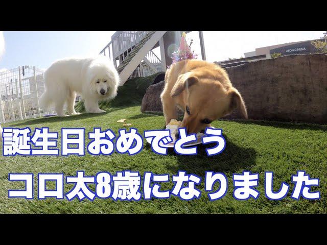 4/1 コロ太8才 MIX犬 ダックス&コーギー