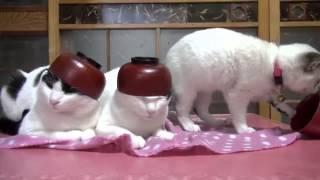 Японские коты   котики с чашками на голове