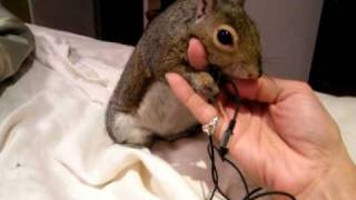 My pet squirrel Newton gets vocal