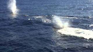 Humpback Whales in Maui, Hawaii 2012