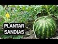 Cómo plantar Sandías