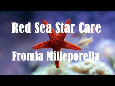 Red Sea Star Care (Fromia Milleporella)