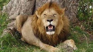 Фильм про льва людоеда. Lion movie about cannibal.