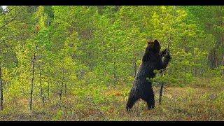 Brown bear marks territory. Бурый медведь метит территорию.(Belarus. Vitebsk region. Reserve