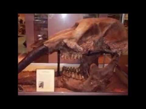 Proboscideans: Evolution of elephants (miocene and pliocene): Zygolophodon