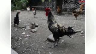 Con gà gáy lâu nhất thế giới