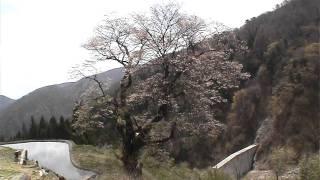 義経ゆかりの駒つなぎの桜 源義経が奥州に下るとき馬をつないだという桜...