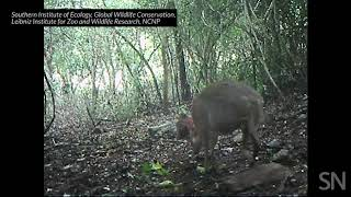 A silver-backed chevrotain is caught on camera in Vietnam   Science News