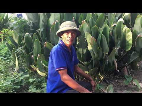 Cây Rong Dùng để Gói Bánh Trưng Trong Dịp Tết : Đức Cường Vlog