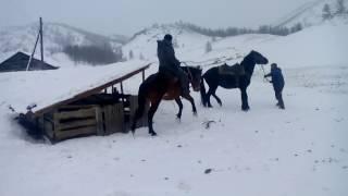 обучение лошади (Алтай)training horse (Altai)