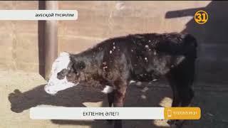 Қостанай облысындағы ірі қарадан шығып жатқан дерт әлі басылмай отыр