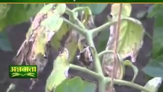 टमाटर की फसल पर लगने वाले झुलसा रोग पर देंगे जानकारी