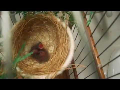 Nasceu a primeira ninhada de Curió