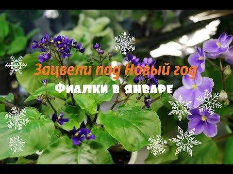 видео: ❀Новогоднее цветение моих фиалок ❀1 января 2018❀