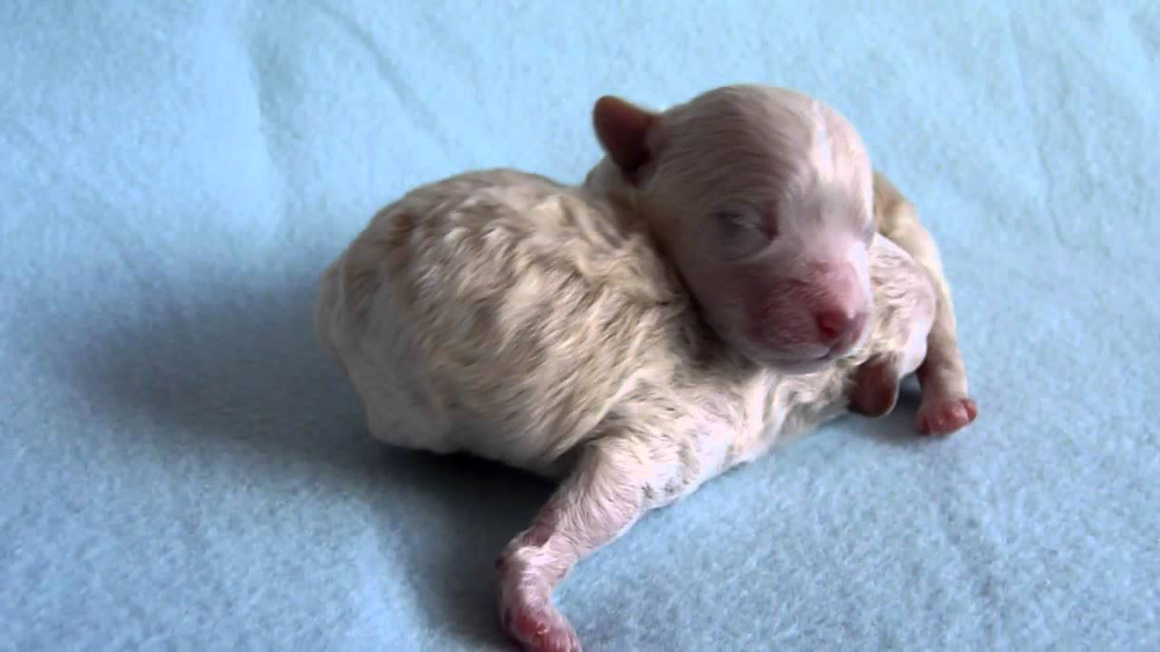 Bolognese Puppies 3 Days Old Boys Of The Cute White Stars Youtube