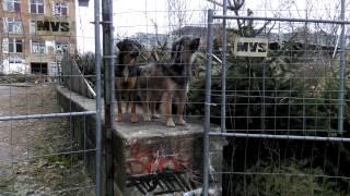 3 Wachhunde bellen barking 3 guard dogs