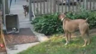 Maisie The Boxer Puppy