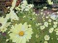 札幌の百合が原公園で黄色いコスモス見ごろ (2012/10/30)北海道新聞