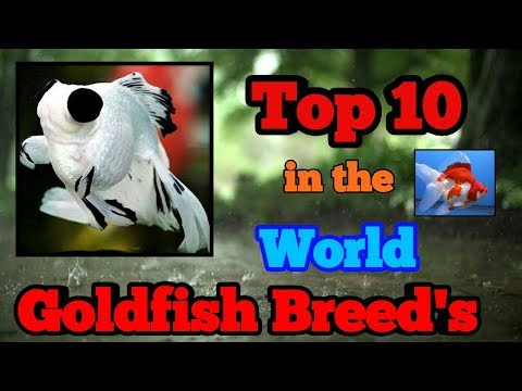 TOP 10 Goldfish Breed's In The World || Most Beautiful Goldfish Breed ||