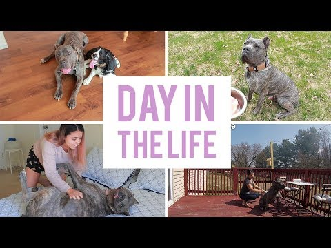 A day in the life of my Cane Corso - Living with a Cane Corso