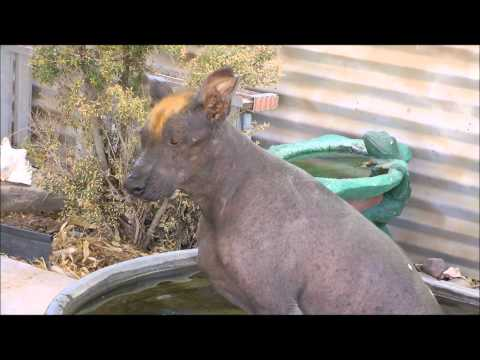 Xoloitzcuintli (Mexican hairless dogs) Xolos are great pets!