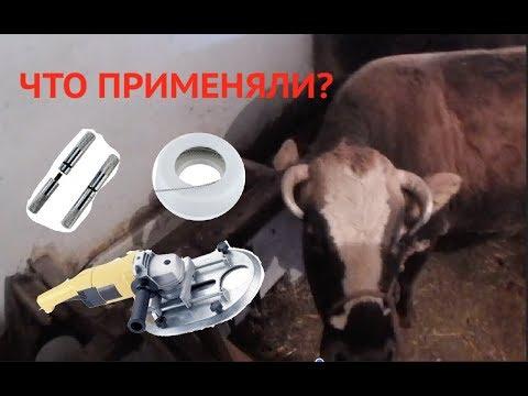 Вопрос: Как помочь корове, если она обломила рог?