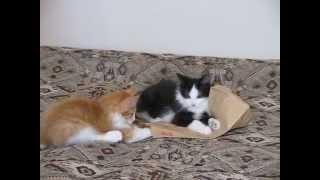 Котята короткохвостой породы - курильский бобтейл