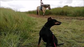 Chester the Manchester Terrier having fun on the heath, picking blackberries and greeting horses