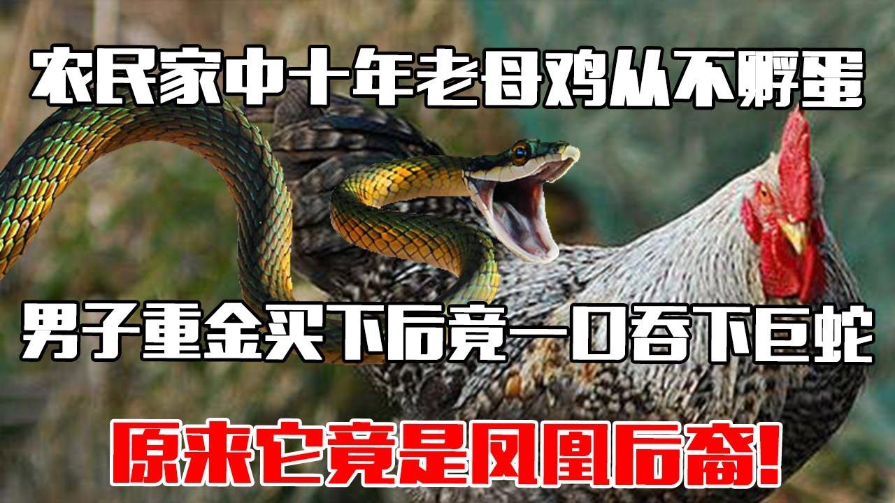 【中国故事】 农民家中十年老母鸡从不孵蛋,男子重金买下后竟一口吞下巨蛇,原来它竟是凤凰后裔!