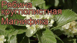 видео Рябина промежуточная