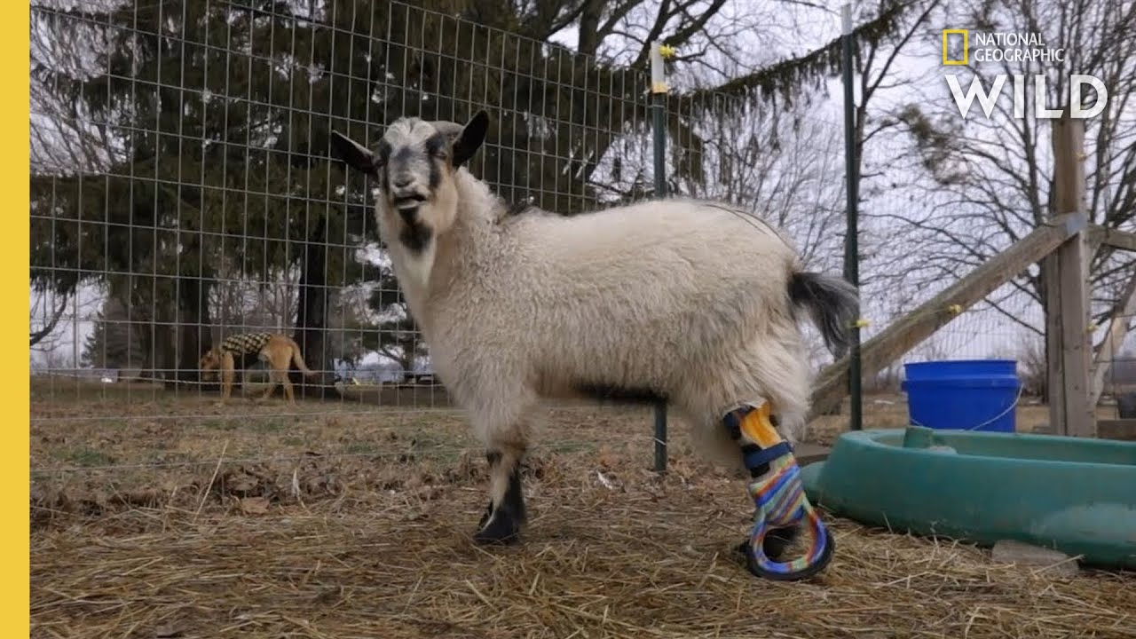 A Goat Gets a Prosthetic Leg  | Wizard of Paws